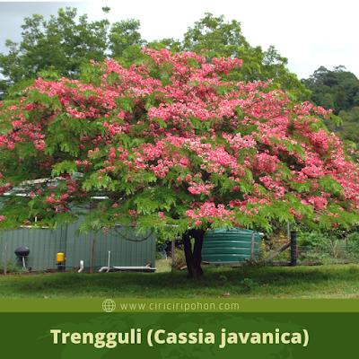 Trengguli (Cassia javanica)