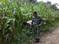 Tingkatkan hasil Panen, Babinsa Ramil 04/SBB Semprot Tanaman Jagung
