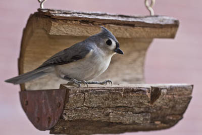 Photo of Tufted Titmouse on bird feeder. Anne773 from Pixabay