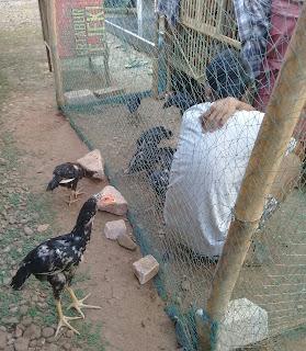Tips memilih anakan ayam bangkok berkualitas
