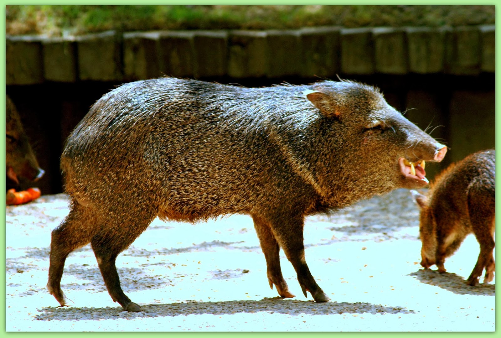 Animales y Plantas de Per Sajino  Pecari Tajacu