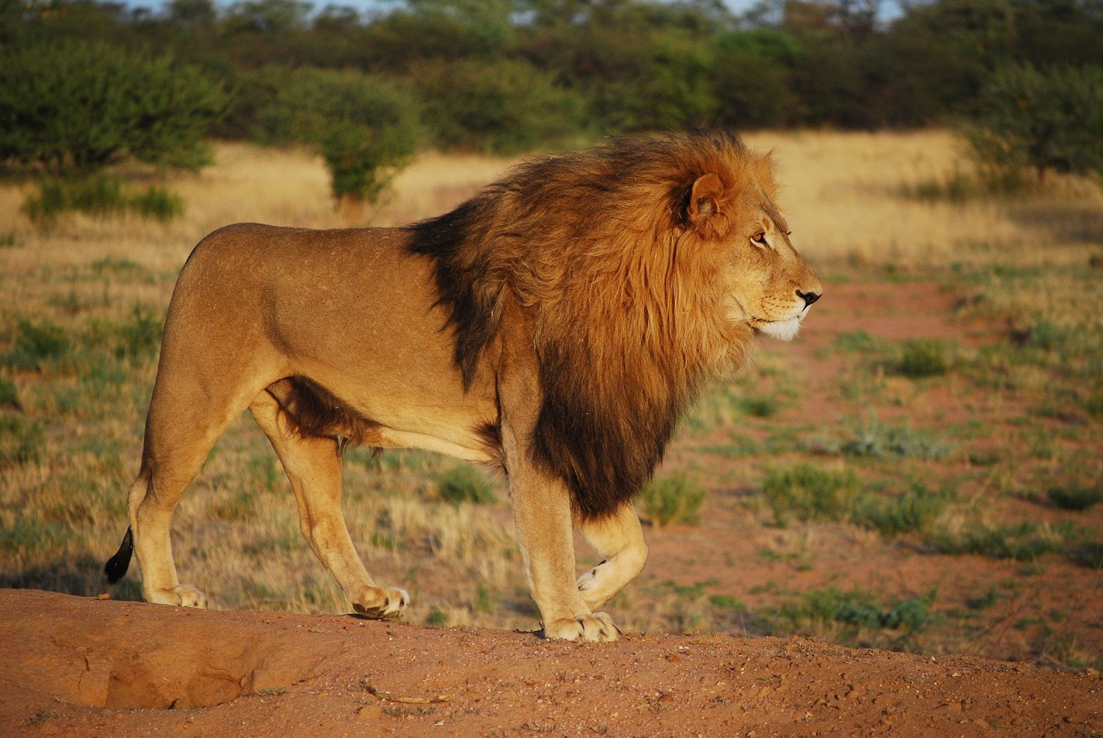 Enraged Lion Images Pics for Download