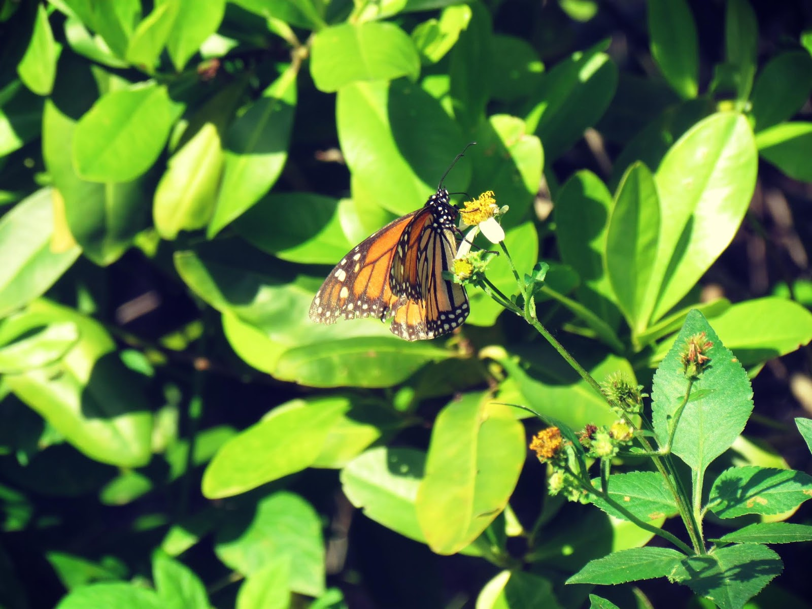 Migrating Monarch Butterfly of Transformation and Awakening