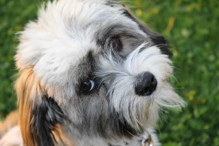 Havanese Dog Breed Information and Facts