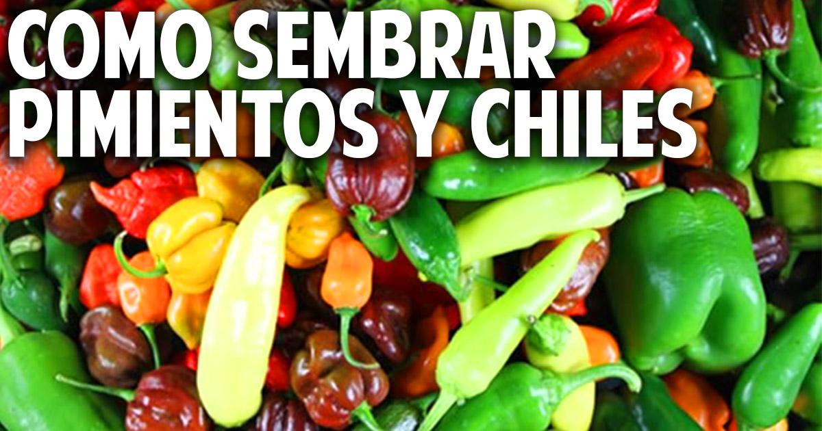 Como germinar semillas de chile, pimiento, morron - paso a paso - 1