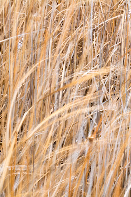 Reeds in the Wind, Bosque del Apache