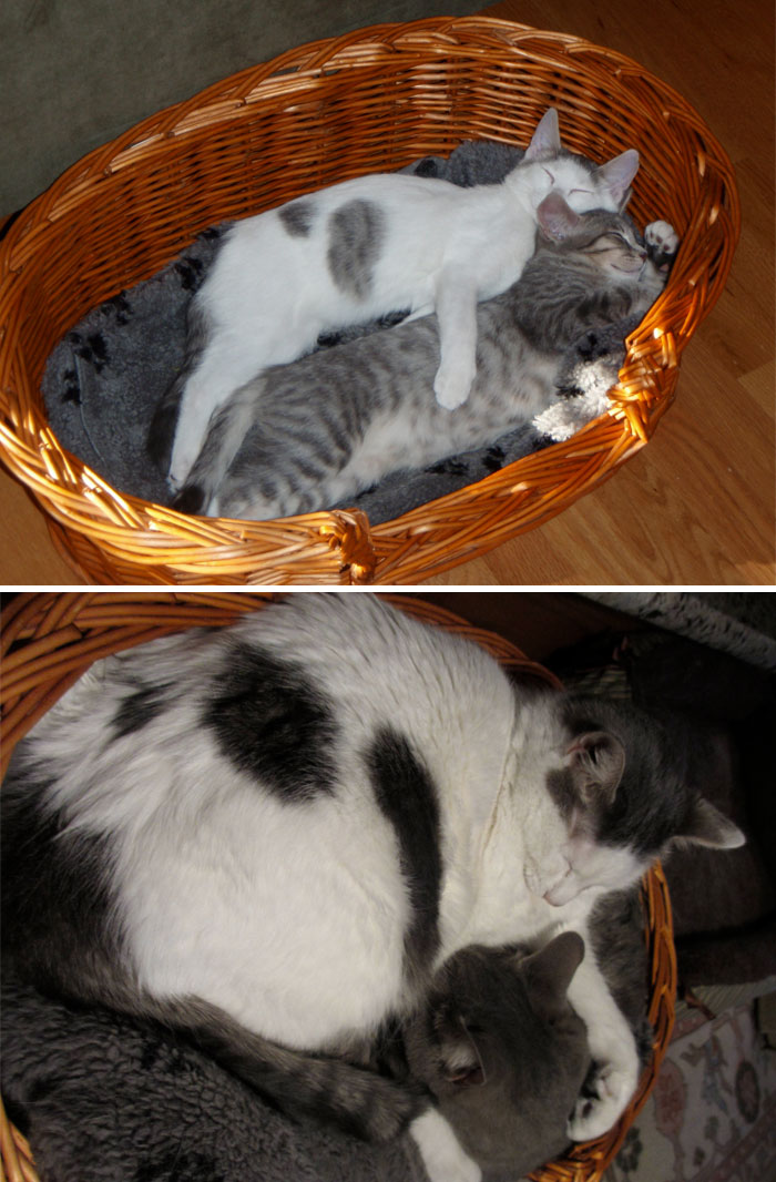 50 Heart-Warming Photos of Animals Growing Up Together - My Cats When They Were A Few Months Old Compared To Now, 4 Years Later