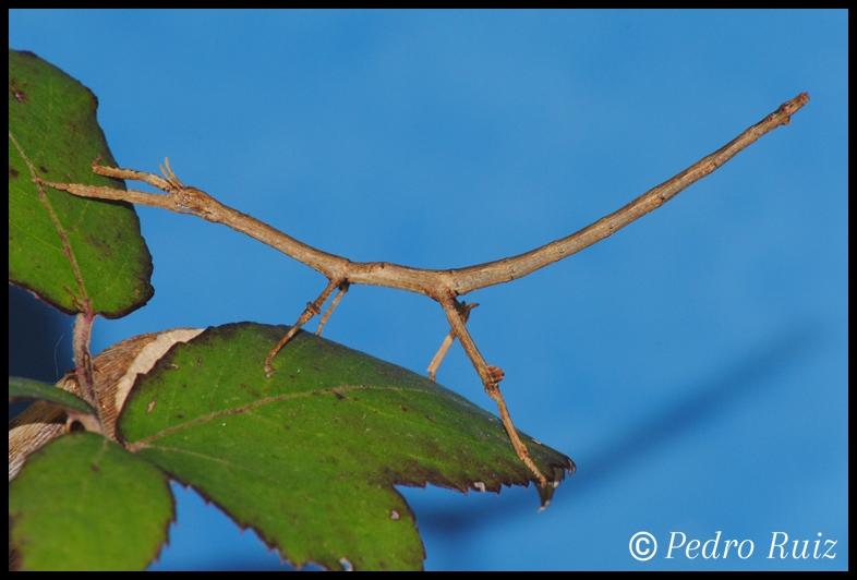 Ninfa macho L4 de Achrioptera manga, 6,5 cm de longitud