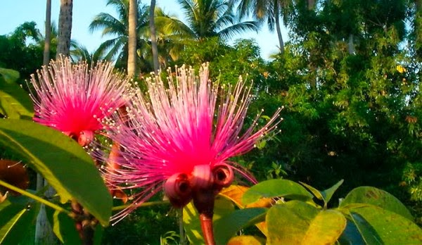 Resultado de imagem para imagens de flores de angola