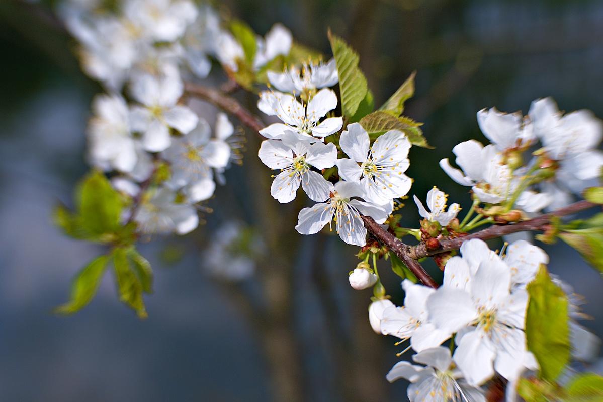 Blüten von Wildkirschen