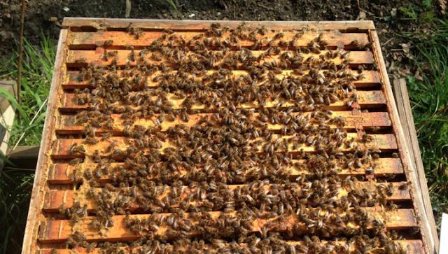 Ενίσχυση αδύνατων μελισσιων με τη πιο γρήγορη μέθοδο: Εφαρμόζεται από παλιό μελισσοκόμο