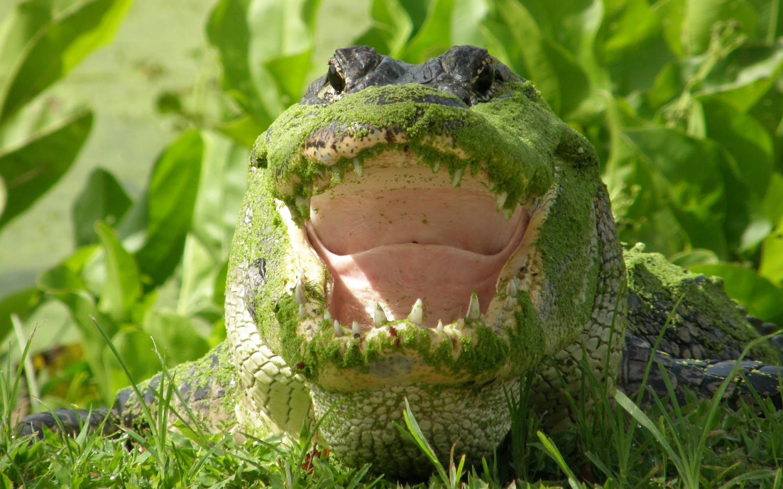 Moss Covered Alligator Picture HD