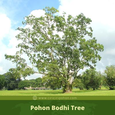 Pohon Bodhi Tree