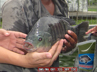 Umpan Ikan Nila Khusus Indukan