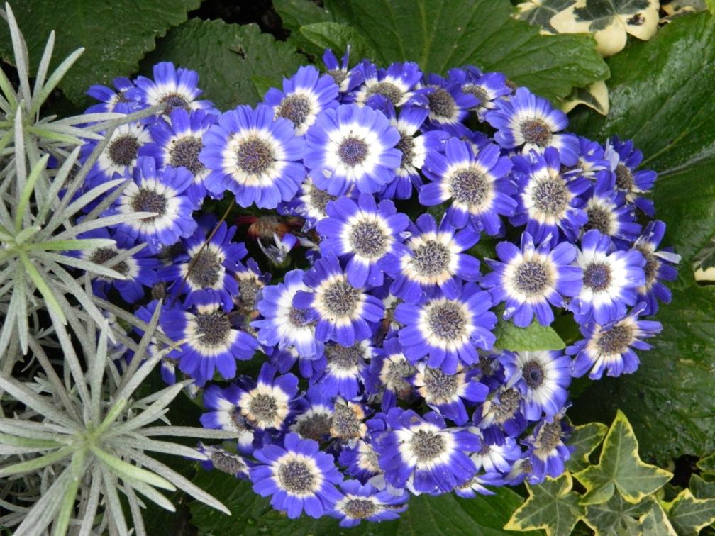 Blue cineria Allan Gardens Conservatory Spring Flower Show 2013 by garden muses: a Toronto gardening blog