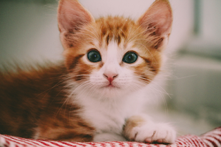 A ginger and white kitten is lying on a red and white striped blanket