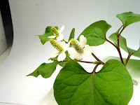 ドクダミの花に見える総苞と棒状の花序