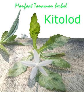 Manfaat tanaman herbal kitolod untuk kesehatan mata
