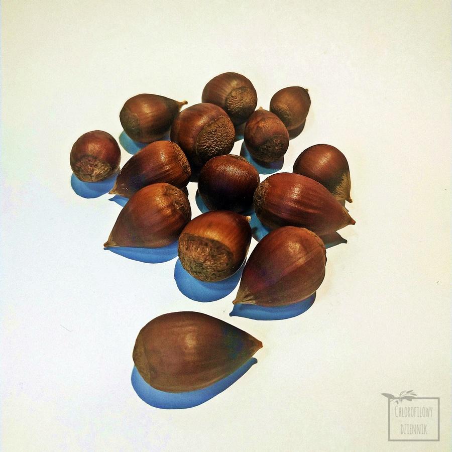 Chiński kasztan perłowy Henryka (Castanea henryi) kasztany orzechy nasiona owoce jadalne azjatyckie drzewa owocowe orzechowe smak wyglad pochodzenie