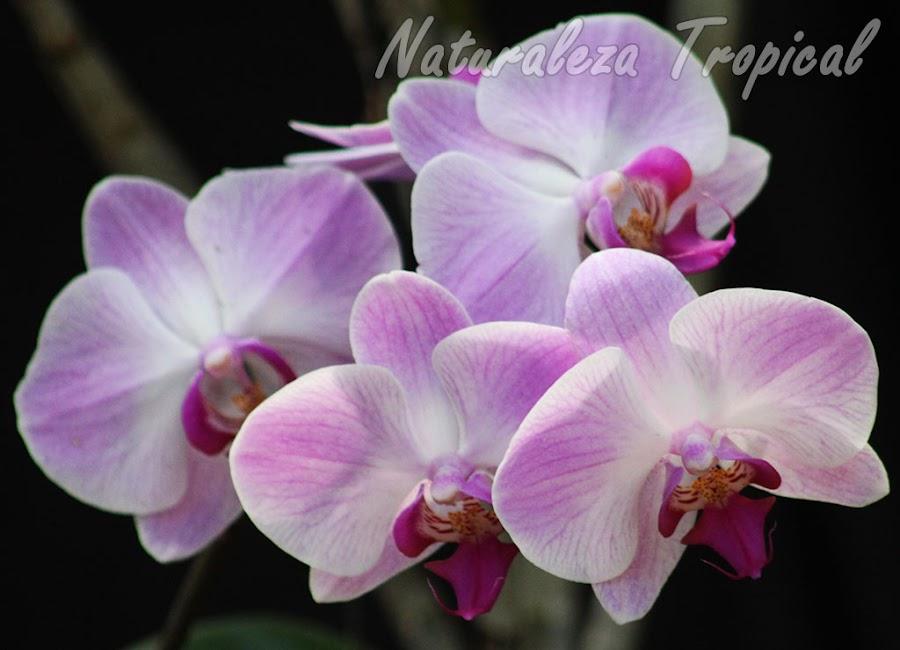 Pétalos y sépalos blancos con tonos rosáceos en los extremos y labelo púrpura. Orquídea Mariposa (género Phalaenopsis)