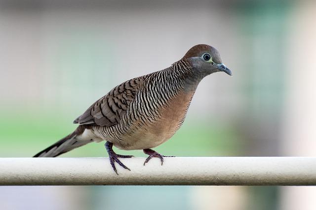Download Suara Burung Perkutut Manggung Gacor