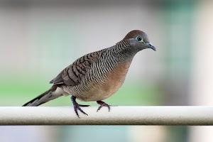 Download Suara Burung Perkutut Manggung Gacor [MP3 Audio File]