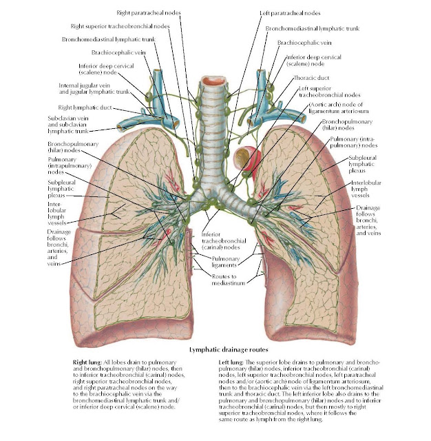 Lymph Vessels and Nodes of Lung Anatomy  Right paratracheal nodes, Right superior tracheobronchial nodes Bronchomediastinal lymphatic trunk, Brachiocephalic vein, Inferior deep cervical (scalene) node, Subclavian vein and subclavian lymphatic trunk, Bronchopulmonary (hilar) nodes, Pulmonary (intrapulmonary) nodes, Subpleural lymphatic plexus, Inter-lobular lymph vessels, Drainage follows bronchi, arteries, and veins, Left paratracheal nodes, Bronchomediastinal lymphatic trunk, Brachiocephalic vein, Inferior deep cervical (scalene) node, Thoracic duct, Left superior tracheobronchial nodes, (Aortic arch) node of ligamentum arteriosum, Bronchopulmonary (hilar) nodes, Pulmonary (intra- pulmonary) nodes, Subpleural lymphatic plexus, Interlobular lymph vessels, Drainage follows bronchi, arteries, and veins,