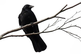 A crow perched on a thin branch, viewed from below against a white background.