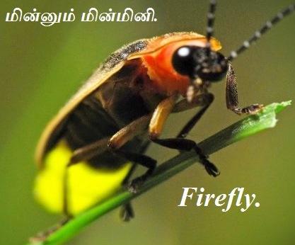 மின்மினிப்பூச்சி - Firefly - Part 2.