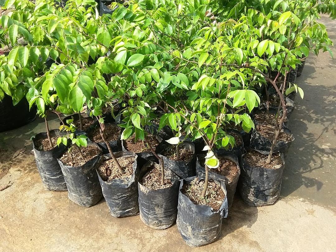 Buruan Borong! Bibit Tanaman Buah Belimbing Bangkok Merah Belimbing unggul manis okulasi cepat berbuah di pot Kota Malang #jual bibit buah buahan