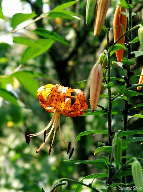 lilia tygrysia kwitnie