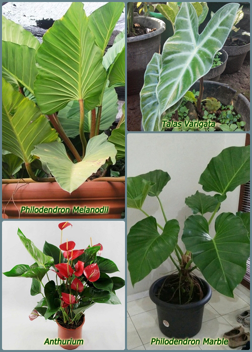 Ciri-Ciri Tanaman Philodendron