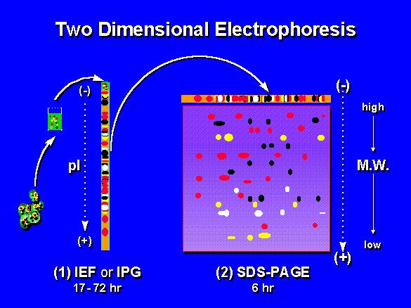 2D Gel Electrophoresis and Proteomics