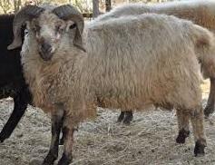 karakteristik dari domba dorset beserta ciri-cirinya domba yang termasuk tipe pedaging