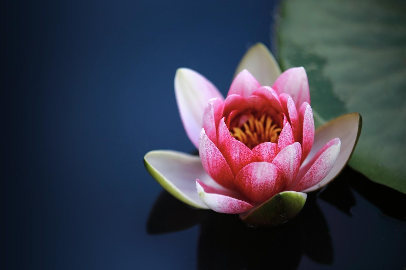 di postingan kali ini akan ada banyak bunga teratai yang cantik dan indah 15+ Gambar Bunga Teratai Indah