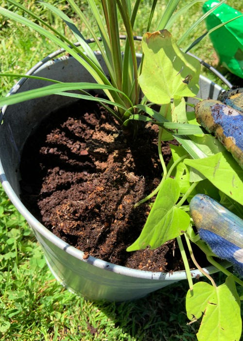 Plants in Galvanized Buckets.