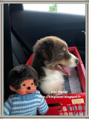 kiki monchhichi bebichhichi chiot chien berger australien mignon cute puppy onyx