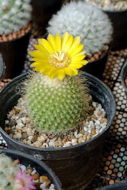 Kaktus Parodia