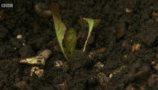 Alys plants her seedlings
