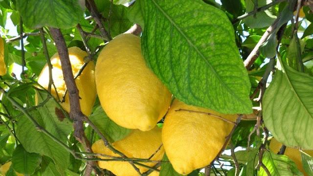 Σαπίζουν στα δέντρα τα Ελληνικά λεμόνια - Εξευτελιστικές και κάτω του κόστους οι τιμές