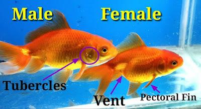 ikan maskoki jantan vs betina