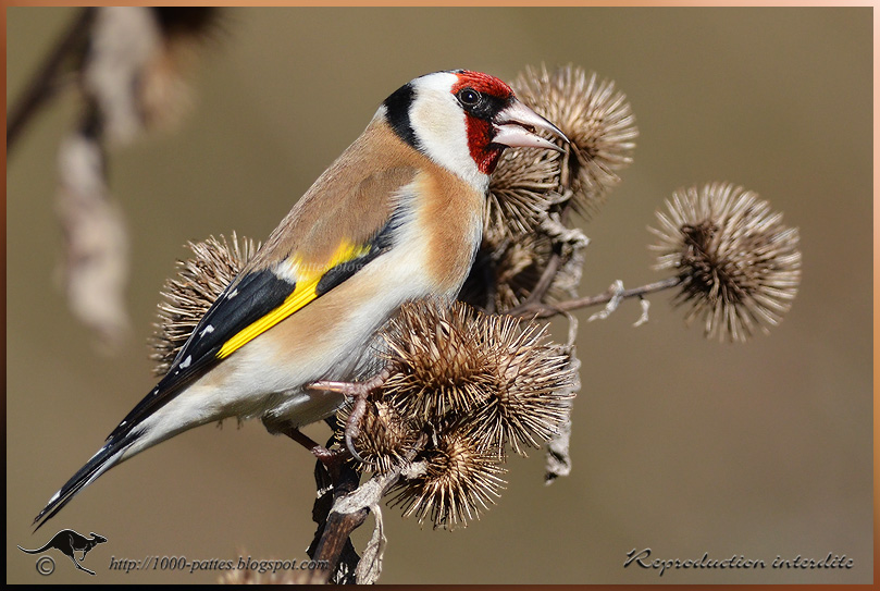 European Goldfinch, males