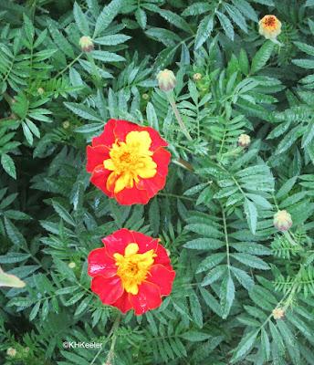 Tagetes patula, French marigold