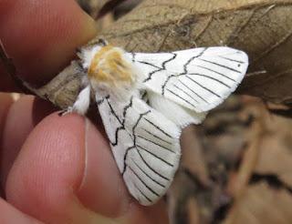 Gazalina sp., Notodontidae, Thaumetopoeinae.