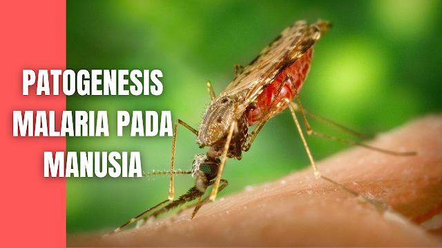 Patogenesis Malaria Pada Manusia Patogenesis malaria sangat kompleks, dan seperti patogenesis penyakit infeksi pada umumnya melibatkan faktor parasit, faktor penjamu, dan lingkungan. Ketiga faktor tersebut saling terkait satu sama lain, dan menentukan manifestasi klinis malaria yang bervariasi mulai dari yang paling berat, yaitu malaria dengan komplikasi gagal organ (malaria berat), malaria ringan tanpa komplikasi, atau yang paling ringan, yaitu infeksi asimtomatik.  Tanda dan gejala klinis malaria yang timbul bervariasi tergantung pada berbagai hal antara lain usia penderita, cara transmisi, status kekebalan, jenis plasmodium, infeksi tunggal atau campuran. Selain itu yang tidak kalah penting adalah kebiasaan menggunakan obat anti malaria yang kurang rasional yang dapat mendorong timbulnya resistensi.   Berbagai faktor tersebut dapat mengacaukan diagnosis malaria sehingga dapat disangka demam tifoid atau hepatitis, terlebih untuk daerah yang dinyatakan bebas malaria atau yang Annual Parasite Incidence –nya rendah.  Demam mulai timbul bersamaan dengan pecahnya skizon darah yang mengeluarkan bermacam-macam antigen. Antigen ini akan merangsang selsel makrofag, monosit atau limfosit yang mengeluarkan berbagai macam sitokin, antara lain TNF (Tumor Nekroting Factor). TNF akan dibawa aliran darah ke hipotalamus yang merupakan pusat pengatur suhu tubuh dan terjadi demam.   Proses skizogoni pada ke empat plasmodium memerlukan waktu yang berbeda-beda, P. falciparum memerlukan waktu 36-48 jam, P. vivax / ovale 48 jam, dan P. malariae 72 jam. Demam pada P. falciparum dapat terjadi setiap hari, P. vivax/ovale berselang waktu satu hari, dan P. malariae demam timbul berselang waktu 2 hari.  Anemia terjadi karena pecahnya sel darah merah yang terinfeksi maupun yang tidak terinfeksi. Plasmodium falciparum menginfeksi semua jenis sel darah merah, sehingga anemia dapat terjadi pada infeksi akut dan kronis.   Plasmodium vivax dan Plasmodium ovale hanya menginfeksi sel darah muda yang 