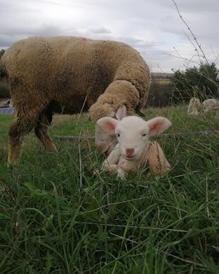 koyun koça gelmesi için ne yapılmalı