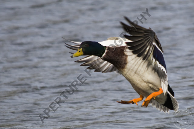 Male mallard in flight, coming into land on water.