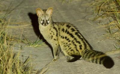 Jineta de Angola (Genetta angolensis)