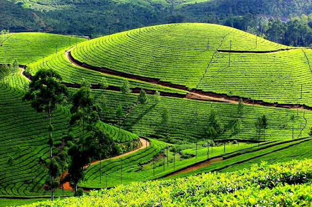 Pallivasal Tea Garden Munnar, Best Places to Visit in Munnar