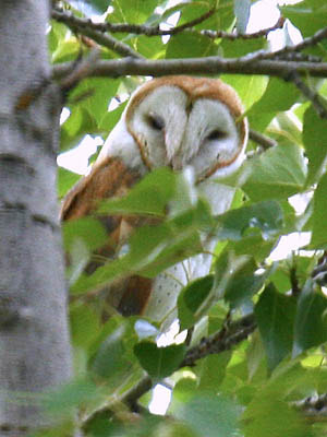 Photo of Barn Owl in aspen tree